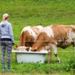 Tölkki tienpientareella voi koitua lehmän kohtaloksi